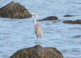 Hay Harbor's Great Blue Heron