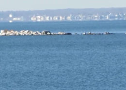 East Harbor Seals