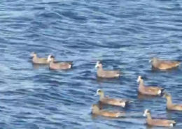 Widgeon Class ducks Hay Harbor